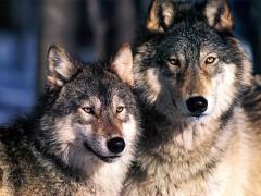 ambiente, green economy, green, sologreen, lupi, lupo, caccia ai lupi, riapertura caccia ai lupi, abbattimento lupi, notizie